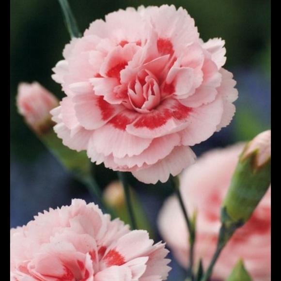 qs_carnations